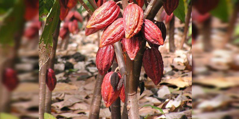 Cacao a concurso en Francia