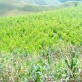 cultivos ilicitos