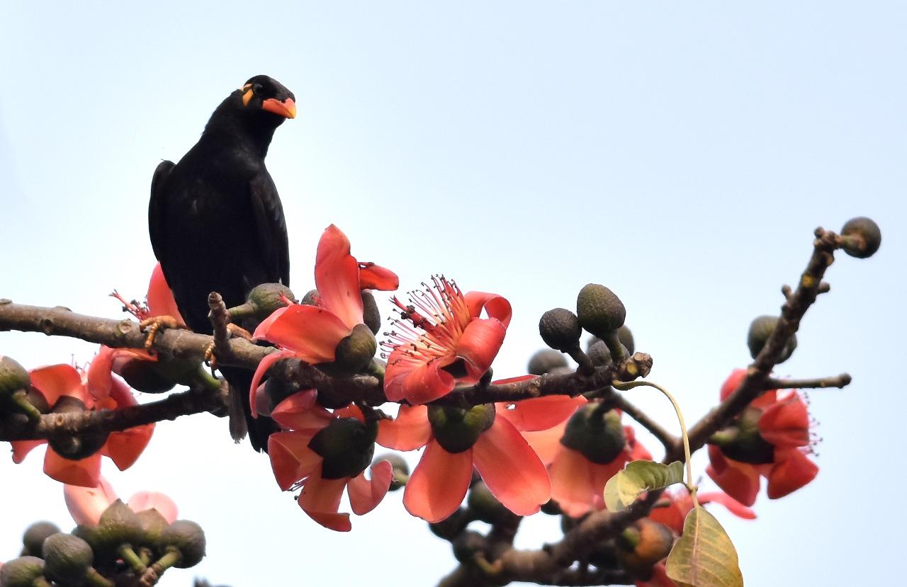 INDIA: Un pájaro común myna (Gracula religiosa) se sienta en la rama de un árbol Bombax en las afueras de Guwahati el 30 de enero de 2018. Esta flor de temporada atrae a una variedad de aves silvestres y abejas. / PH: Biju BORO - AFP.