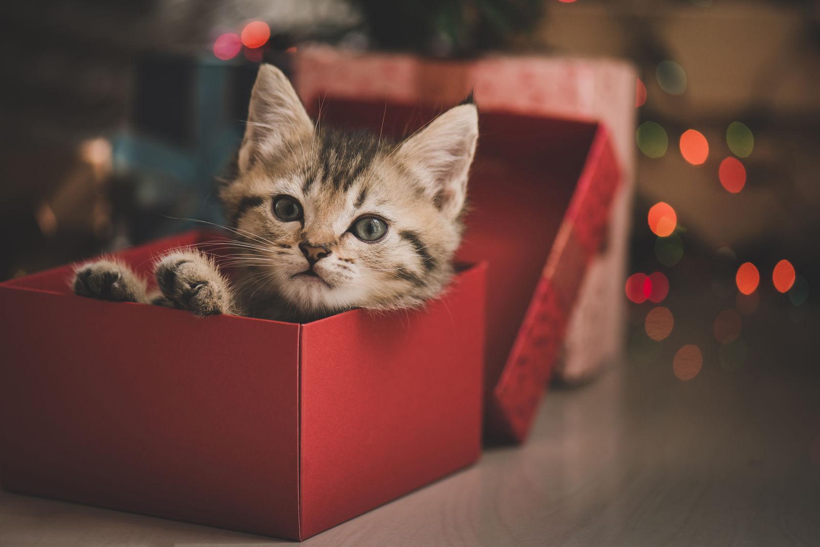 Socks, el gatito que inspiró el Día Internacional del Gato
