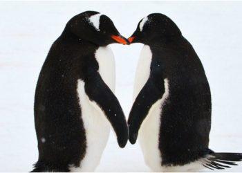 pinguinos amor antartida piedras