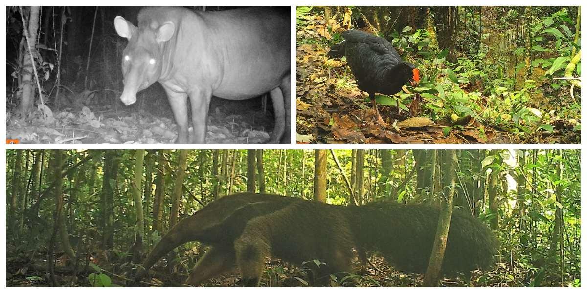 Por primera vez captan en imágenes a 30 especies de fauna en el Parque Nacional Río Puré