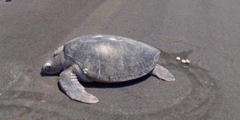 Tortuga emerge para desovar y halla la playa convertida ¡en aeropuerto