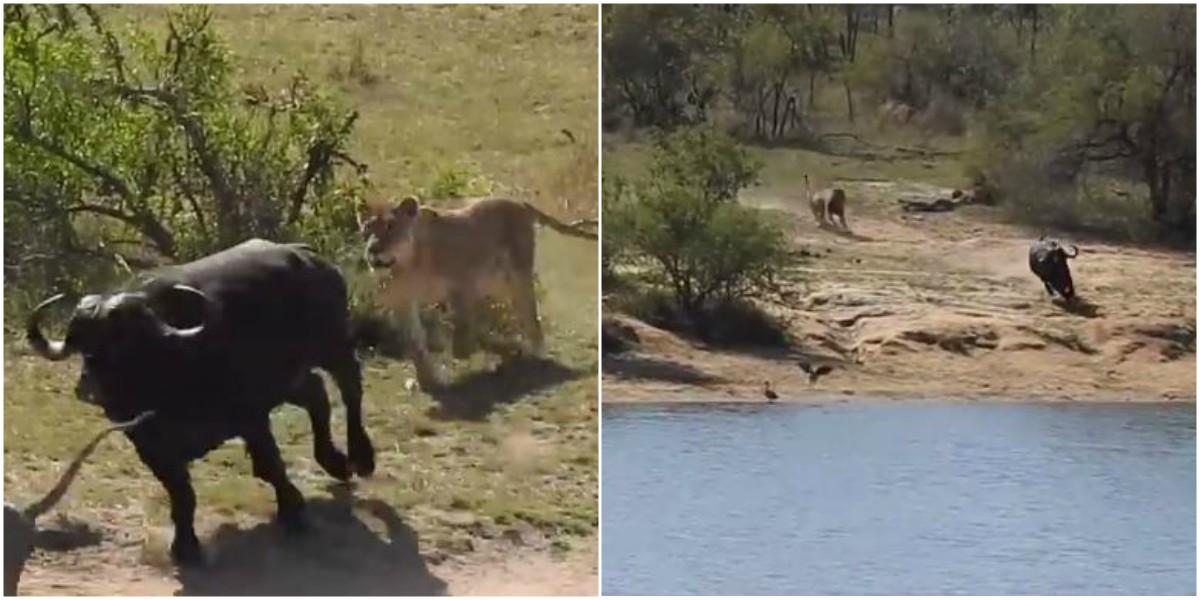 video bufalo escapo leones cocodrilo