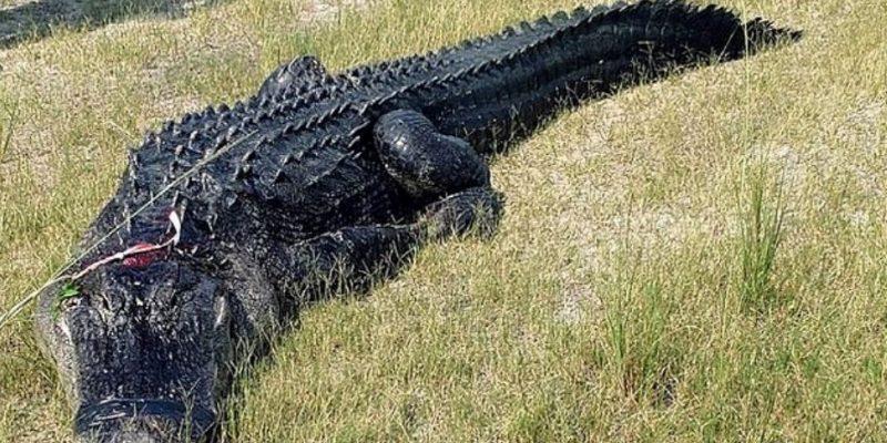 Encuentran restos humanos dentro de un caimán en la Florida
