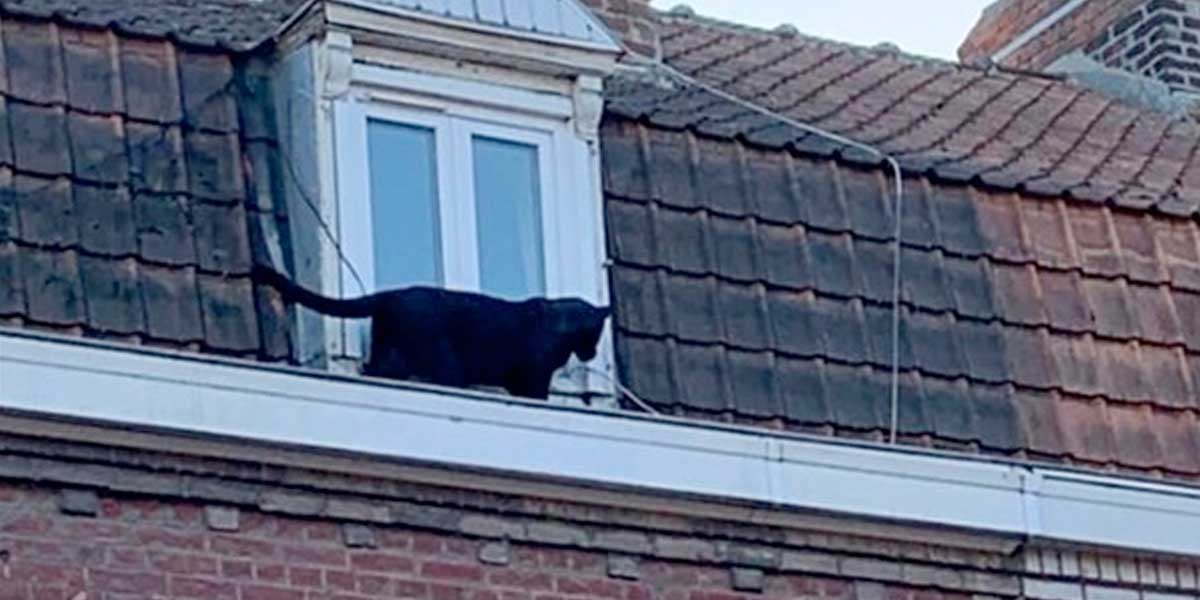 Capturan una pantera negra que paseaba por edificios en Francia