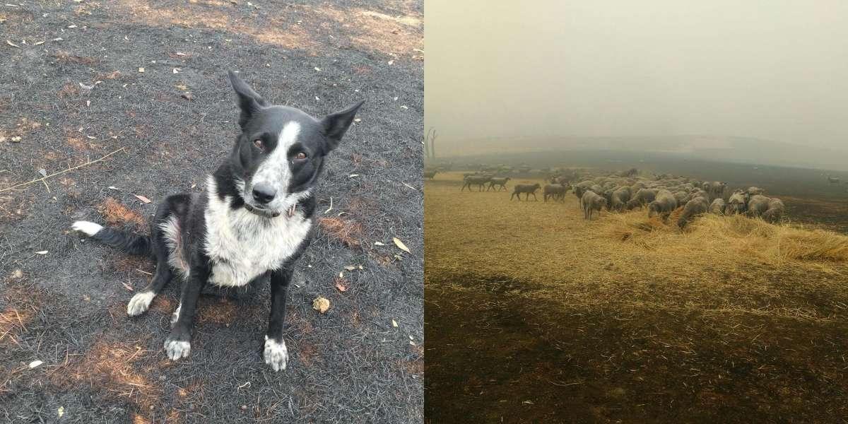 Esta border collie arriesgó su vida para salvar un rebaño de ovejas del fuego en Australia