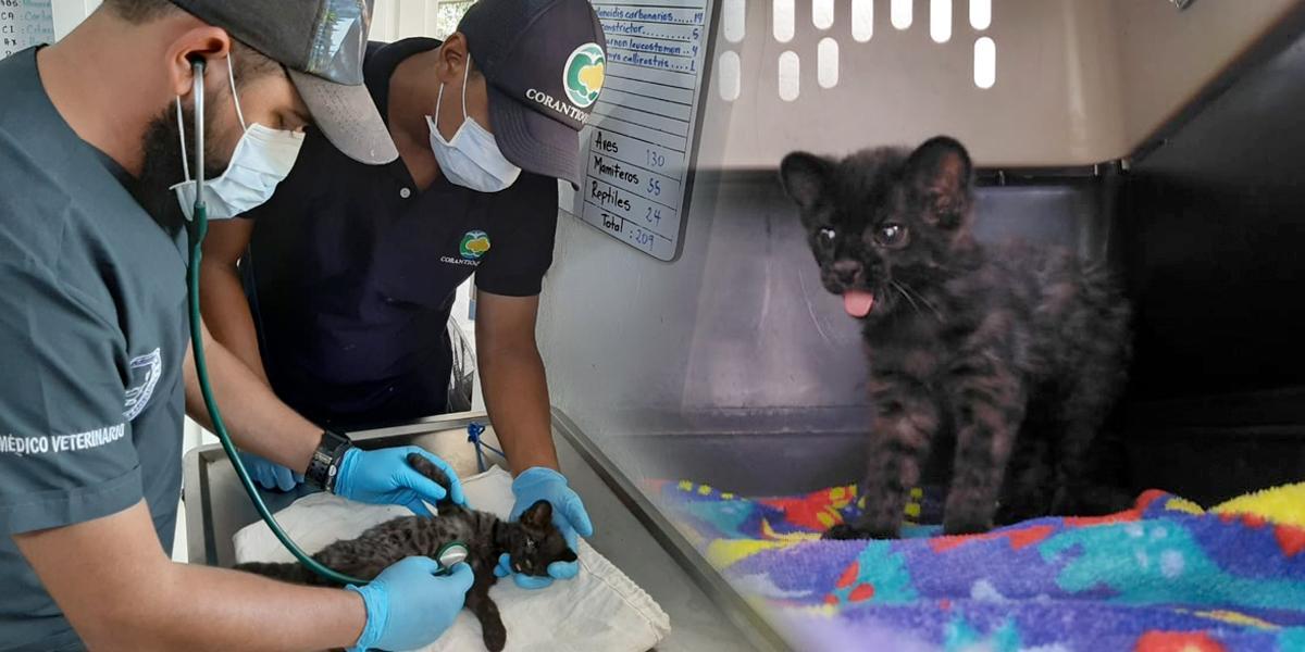 Rescatan un cachorro tigrillo lanudo que abandonó su madre en Antioquia