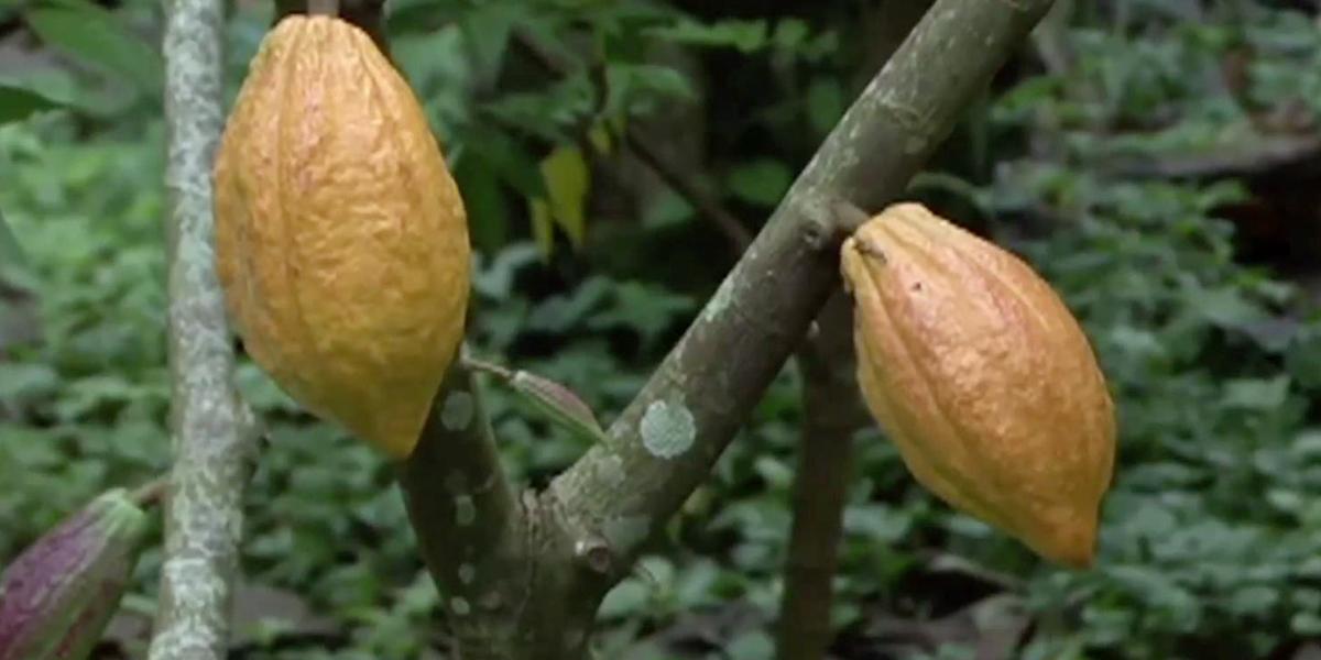 Academia lanza salvavidas a la industria cacaotera santandereana