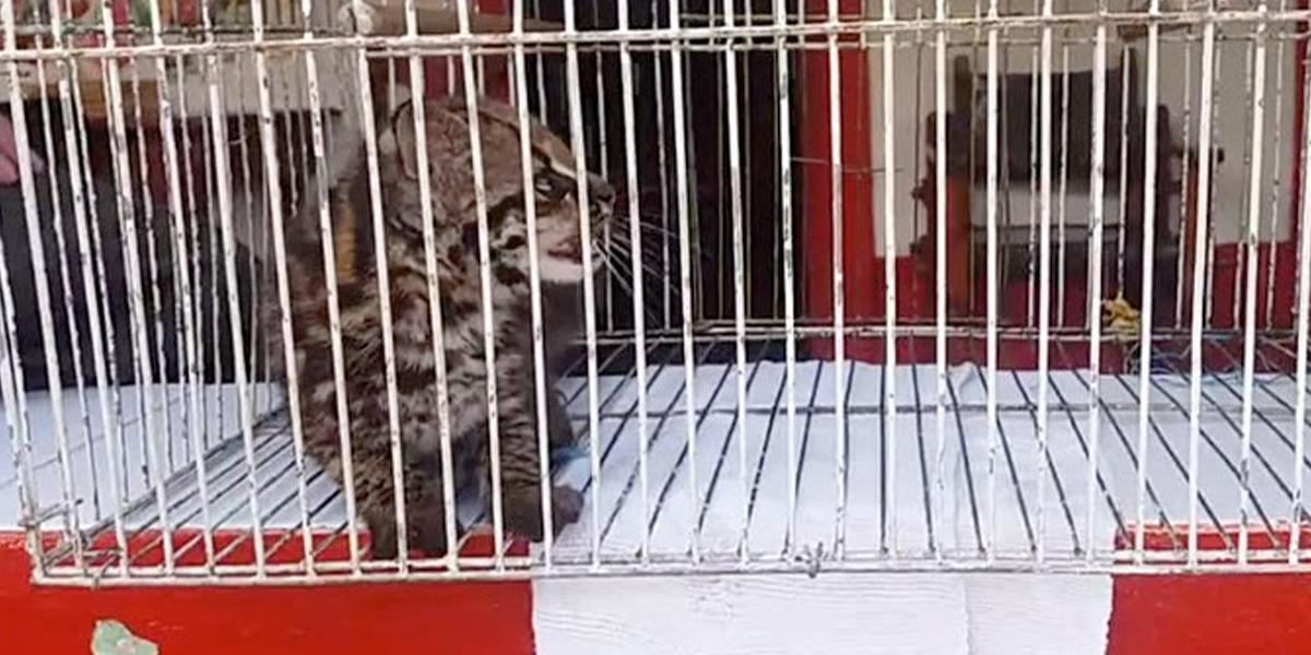 Rescatan un tigrillo silvestre en El Retiro, oriente antioqueño