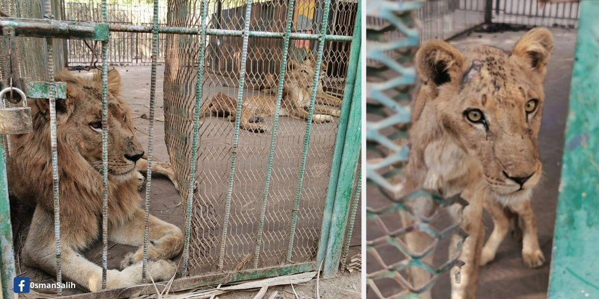 Maltrato a leones en Sudán