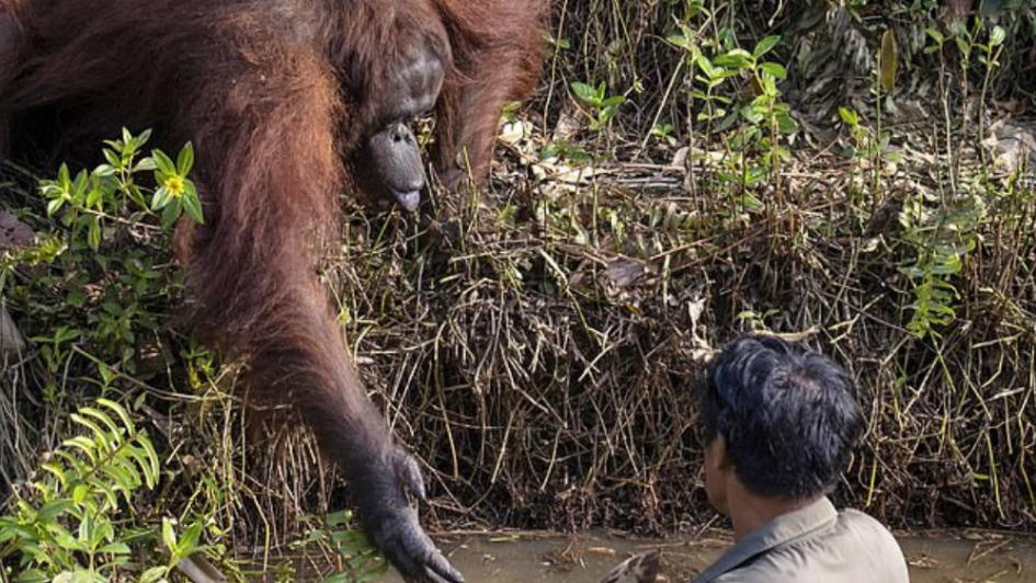 ¿Necesitas ayuda? Orangután le ofrece su mano a hombre pensando que estaba atrapado en el agua