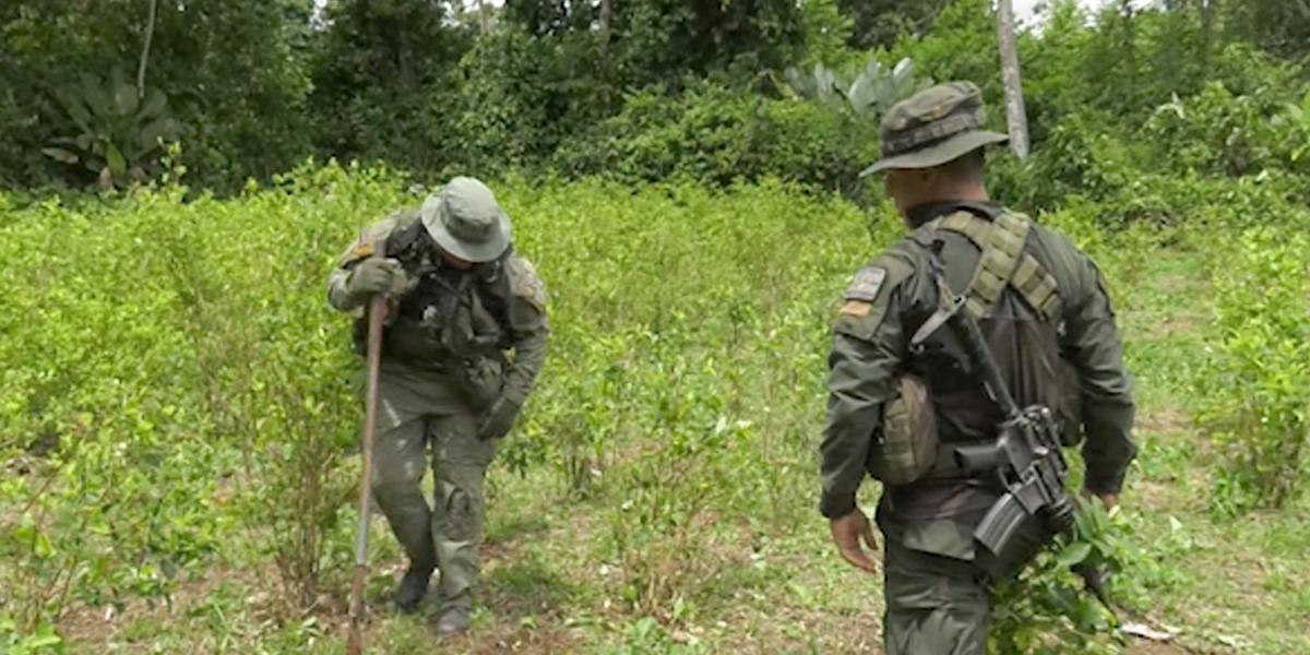 Meta de erradicación de coca incrementará 53 por ciento