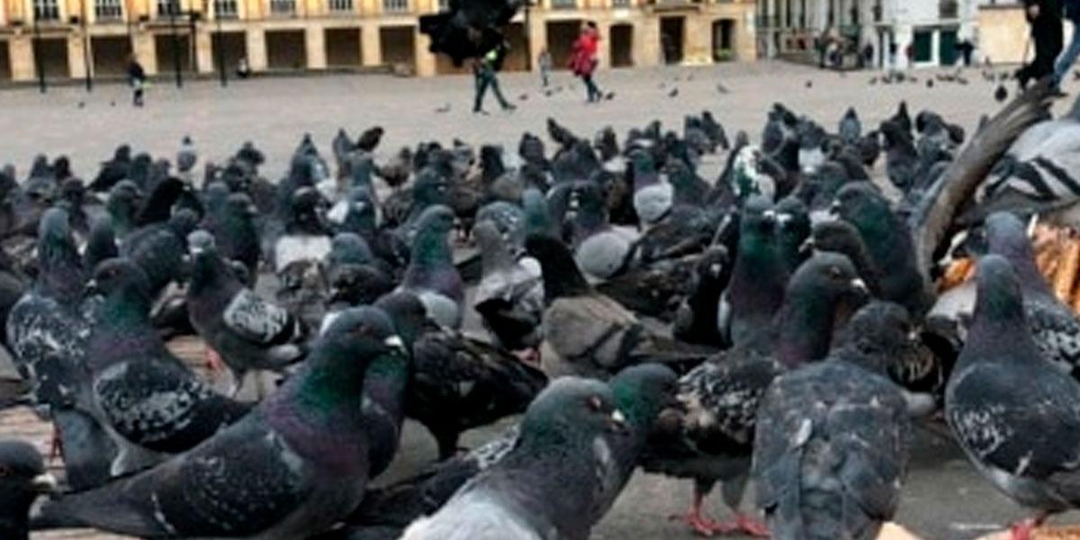 Palomas de la Plaza de Bolívar fallecen por falta de alimento
