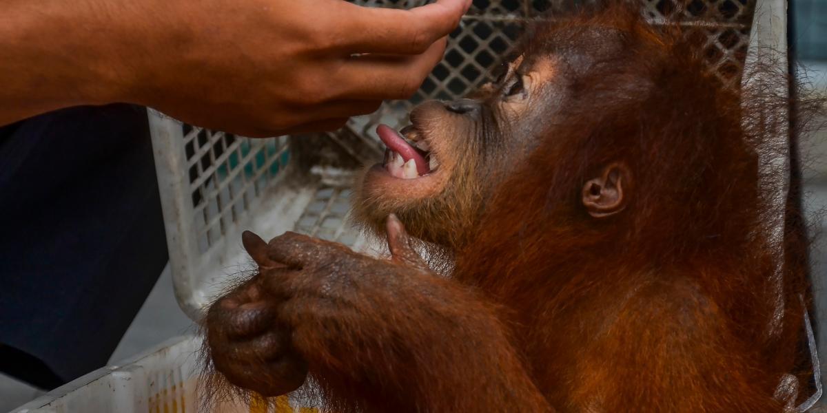 Orangután - Indonesia