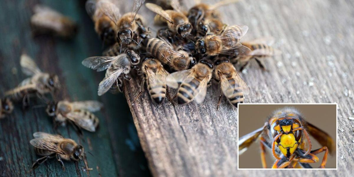 video abejas derrotan avispon asesino vespa mandarinia