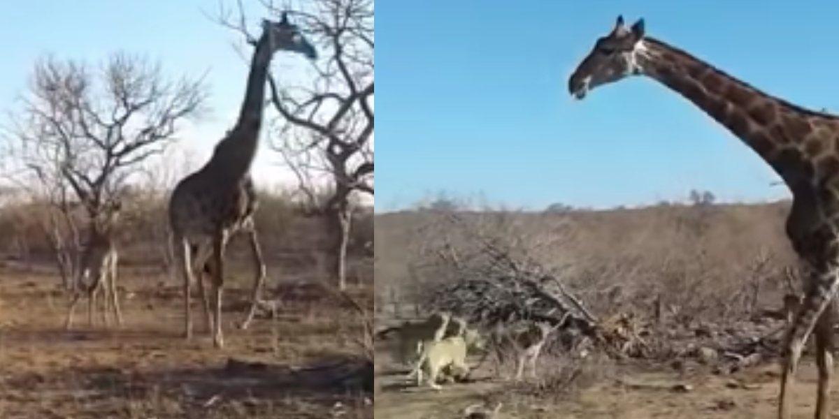 Video: Mamá jirafa defiende a su cría de cruel ataque de leonas
