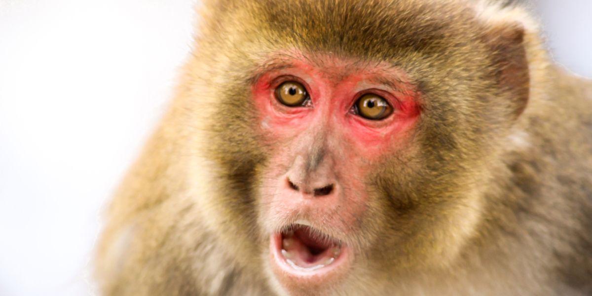 monos infectados coronavirus inmunidad macacos rhesus