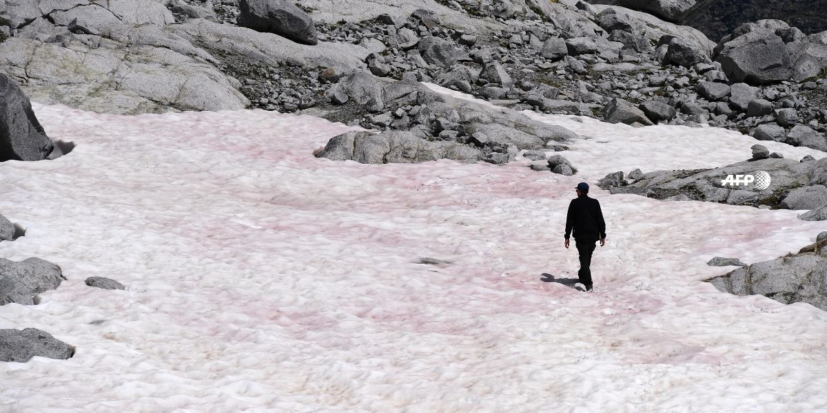 Nieve rosada italia