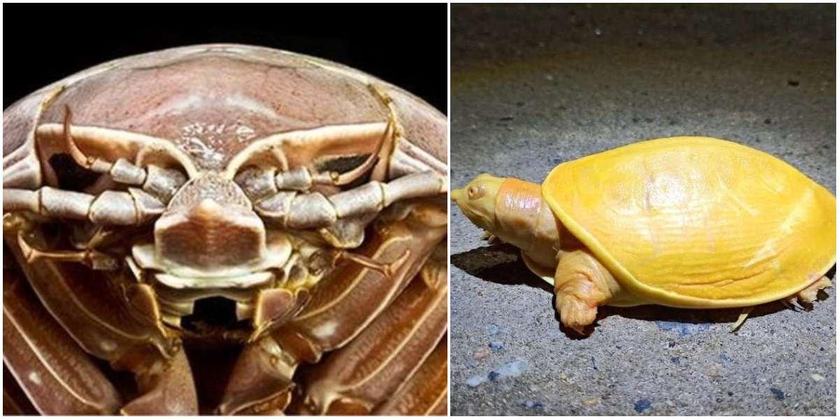 Una cucaracha gigante en el mar y una tortuga amarilla: dos descubrimientos que asombran a científicos