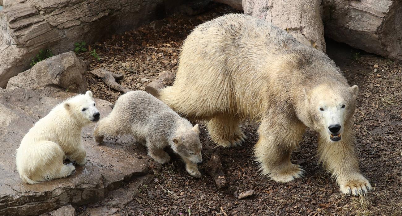 oso polar noruega