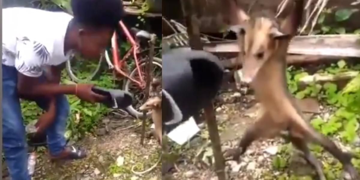 Video Zarigueya amarrada