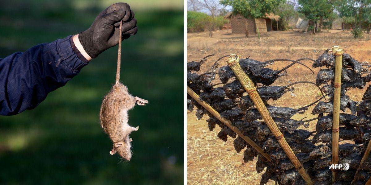 Pinchos de raton