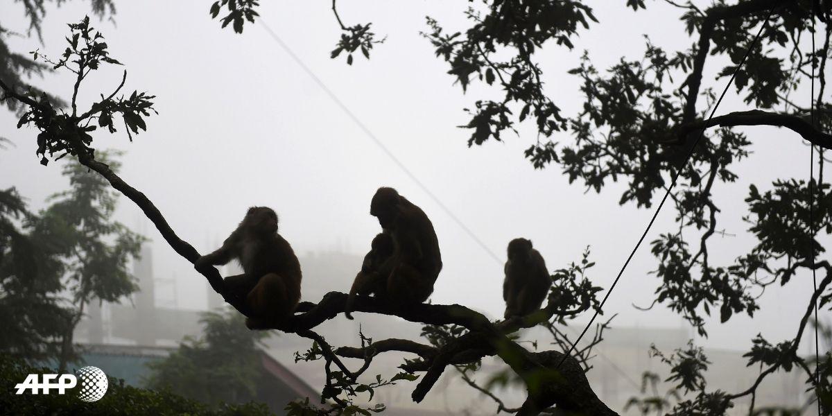 miles de monos aterrorizan una ciudad