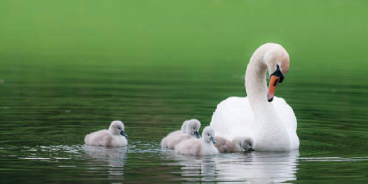 cisnes confinamiento