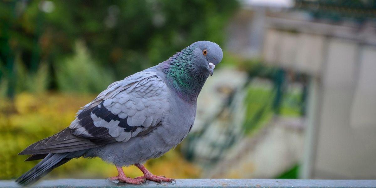 sacrifican a paloma en australia por violar cuarentena