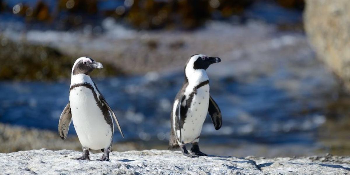 pinguinos abejas